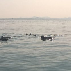 Things not to do in Phuket - Wild Dolphins as they should be