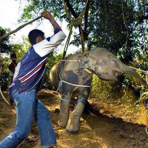 Things not to do in Phuket - Elephant Torture