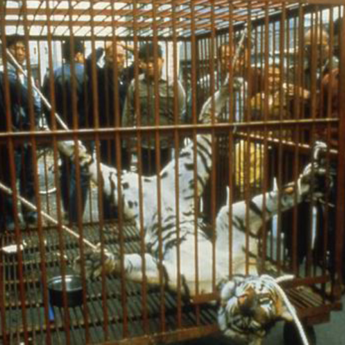 Things not to do in Phuket - Tiger Torture